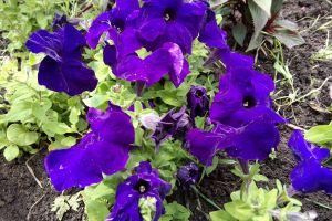 purple flowers petunias flowers