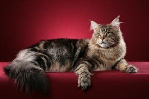 red background maine coon cats animals