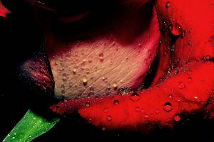 red flowers rose water drops macro dew flowers