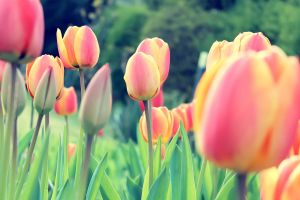 red flowers tulips garden flowers