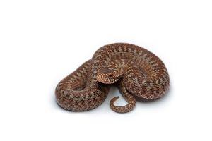 reptiles animals white background snake