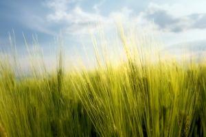 rye macro sky plants