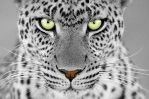 selective coloring animals leopard
