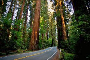 sequoias nature road landscape redwood forest