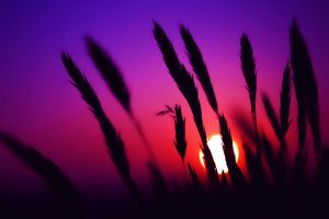 silhouette sunset spikelets nature sunset