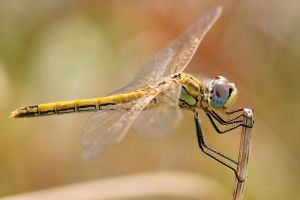 simple background wings animals dragonflies macro blurred insect