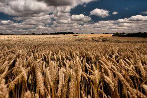 sky landscape field wheat