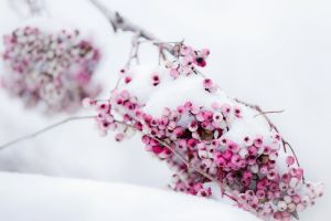 snow berries winter
