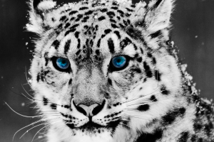 snow leopards cats leopard (animal) eyes selective coloring animals big cats
