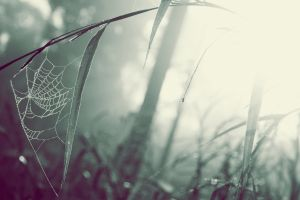 spiderwebs mist grass macro