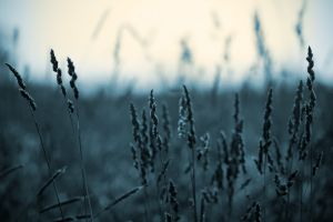 spikelets nature cold monochrome plants