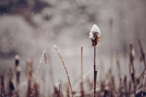 spikelets snow plants nature winter depth of field