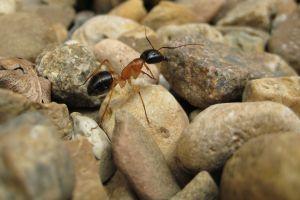stones animals insect macro macro rock ants