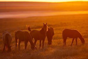 sunset field sunlight horse animals