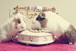 telephone guinea pigs animals
