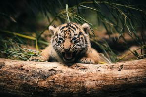 tiger animals log baby animals