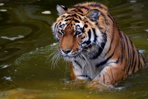 tiger animals water big cats