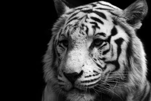 tiger big cats simple background animals monochrome
