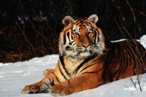 tiger big cats snow animals