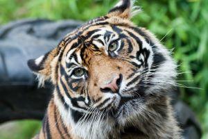tiger cats animals face