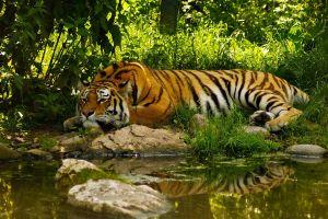 tiger pond animals jungle