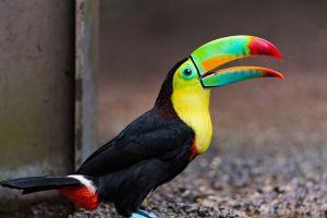 toucans animals birds