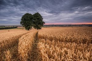 trees landscape wheat field
