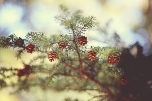 trees pine cones nature depth of field