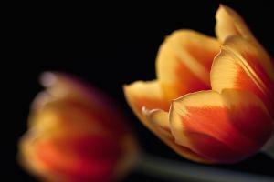 tulips depth of field flowers