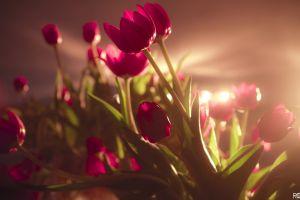 tulips flowers pink flowers sunlight