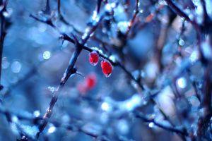 twigs frost bokeh plants winter macro nature berries