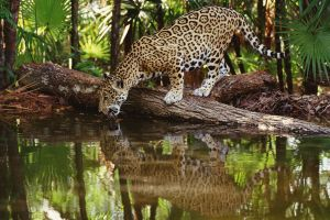water animals jaguars feline reflection big cats