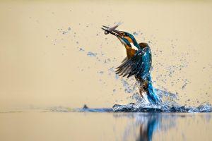 water drops fishing birds reflection martin pêcheur fish animals hunting water kingfisher nature