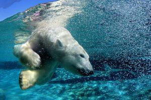 water polar bears nature animals mammals underwater split view