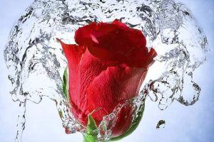water red flowers rose splashes flowers