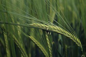 wheat plants macro