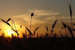wheat sunset silhouette sunlight nature