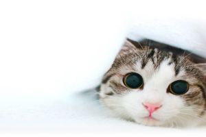 white background white cats animals eyes face simple background
