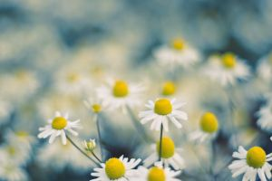 white flowers macro chamomile flowers