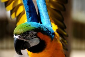 wings orange colorful macaws animals birds parrot
