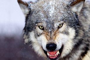winter wolf animals snow