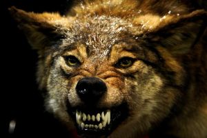wolf fangs angry animals