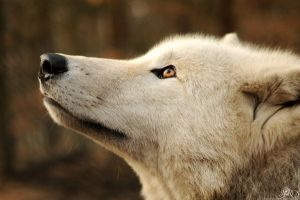 wolf nature looking up animals white