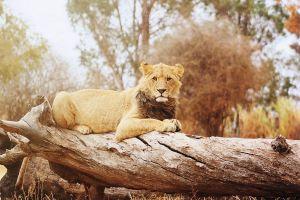 wood log animals lion