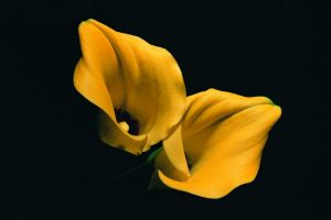 yellow flowers flowers plants lilies simple background black background