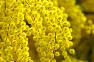 yellow flowers mimosa plants flowers