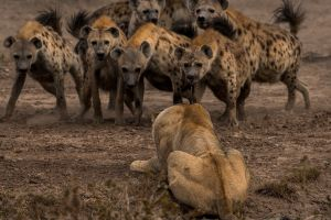 2017 (year) hyenas lion nature wildlife africa animals national geographic