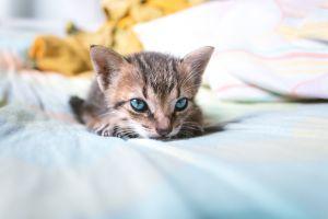 animal eyes blue eyes cats animals kittens
