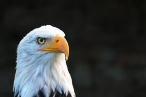 animal eyes wildlife eagle