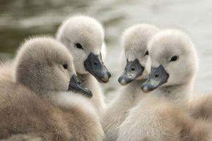 animals baby animals swan